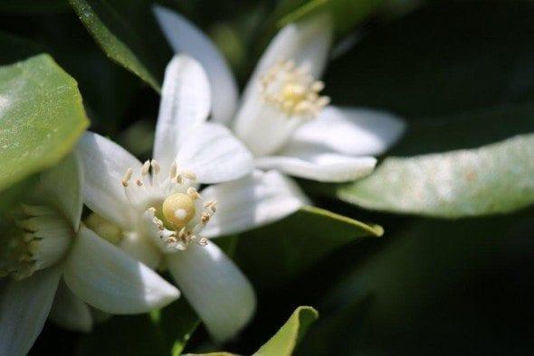 Grafe e Faca Flor de Laranjeira (2) flores de laranjeira As flores de Laranjeira Grafe e Faca Flor de Laranjeira 2 590x394